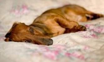 Хибна вагітність у собак