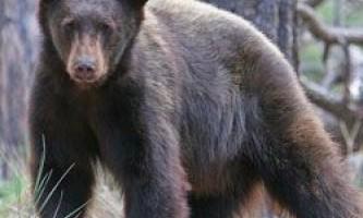 Ведмеді вміють рахувати