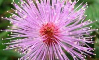 Мімоза сором`язлива - рослина, яке боїться дотиків