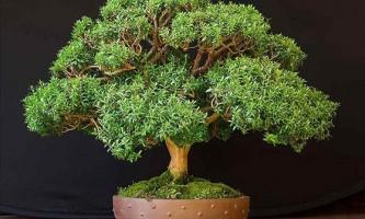 Миртове дерево: як виростити гармонійну культуру