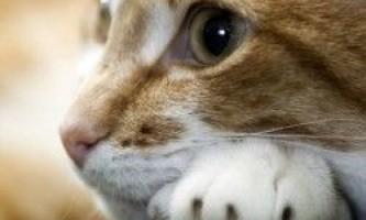 Сечокам`яна хвороба у кішок