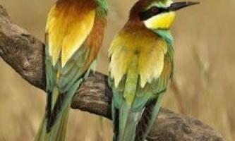 Моногамні птахи схильні до зрад в умовах глобального потепління