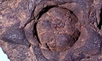 Морські їжаки пережили динозаврів?