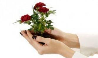 Чи можна посадити і виростити троянду з букета?