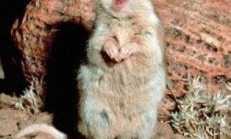 Миші вміють співати в унісон