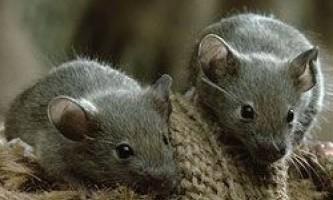 На острові гофро лютують миші-вбивці