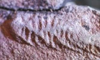 Знайдені скам`янілості дуже дивних ранніх тварин