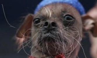 """Названо переможця конкурсу """"найпотворніший собака 2012"""""""
