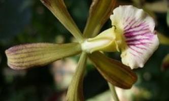 Незвичайні орхідеї відкриті на кубі