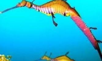 Невловимого червоного морського дракона вперше зняли на відео