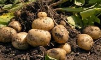 Новітні методи вирощування картоплі
