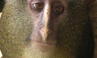 Новий вид мавпи виявлений в конго