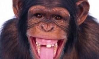 Мавпи розуміють людську мову не гірше людей