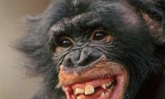 Мавпи теж розуміють жарти?
