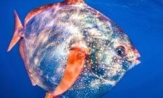 Виявлена перша в світі теплокровних риба