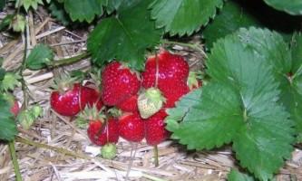 Тирса в городі: користь чи шкода
