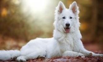 Опис білої швейцарської вівчарки