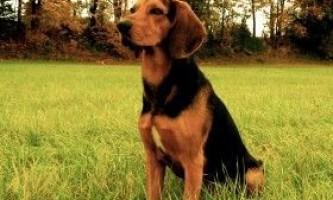 Опис еллінських гончих собак