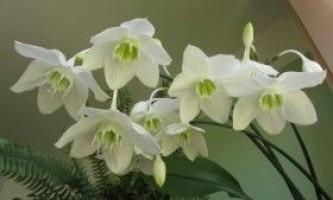 Опис еухаріса і вирощування в домашніх умовах
