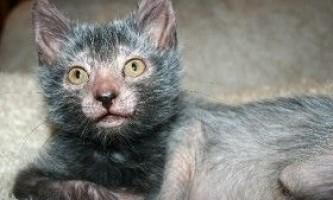 Опис породи кішок ліко