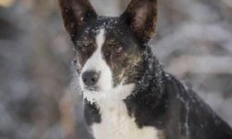 Опис породи собак вельш-коргі