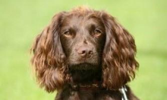Опис собаки породи філд-спанієль