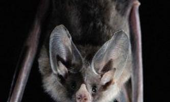 Оральний секс - це звичайне явище серед кажанів
