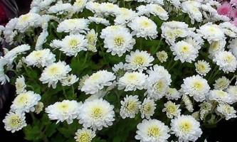Осінні зірки - хризантеми: агротехніка і догляд