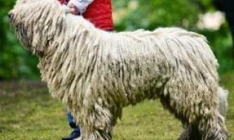 Особливості характеру собаки комондор, її походження
