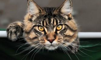 Особливості породи кішок мейн кун