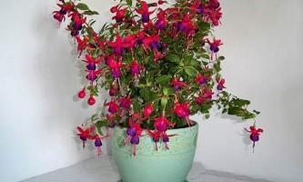 Особливості вирощування фуксії - рослини з квітами «балеринки»