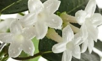 Особливості вирощування та розмноження стефанотіс