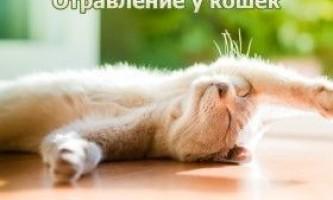 Отруєння у кішок - дбаємо про тварину