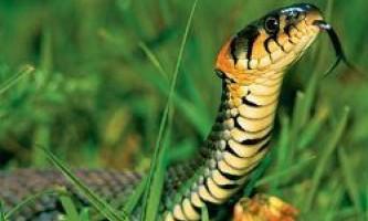 Овуляція і здатність розпізнавати змій