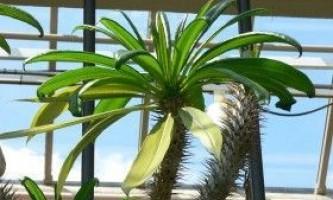 Пахиподіум - мадагаскарська пальма