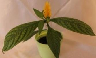 Пахистахис: вирощування в домашніх умовах