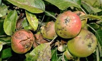 Парша на яблуні: як боротися? Чим обробити?