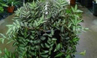 Пелліонія: опис, види, вирощування