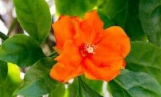 Переськия (pereskia) - древній кактус