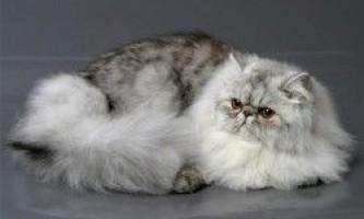 Перські кішки: особливості породи