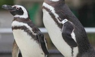 Пінгвіни - найвірніші коханці тваринного світу?