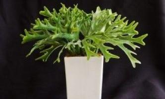 Платіцеріум (platycerium) - оленячий ріг