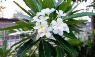 Плюмерія - франжипани. Вирощування в домашніх умовах
