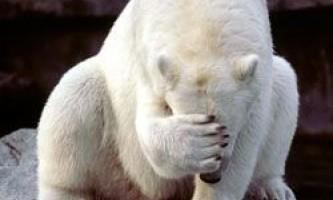Чому білі ведмеді на аляски втрачають хутро?