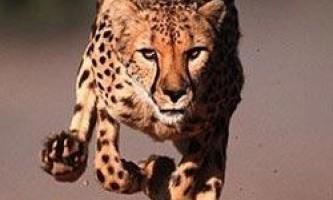 Чому гепарди так швидко бігають
