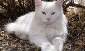 Чому муркоче кішка?
