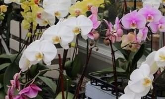 Подаруйте орхідеї нове життя: коли і як пересаджувати квітка