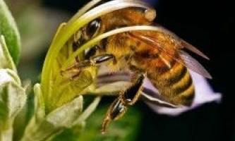 Корисні властивості бджолиного пилку