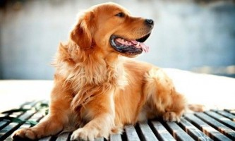 Порода собак золотистий ретривер