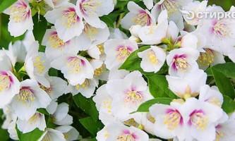 Посадка, розмноження і догляд за садовим жасмином